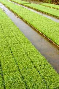 Young rice plant seedlings ready for planting growing in trays at edge of paddy field Free Photo